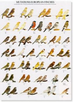 Prachtfinken Und Koi Zentrum Köln Europäische Finken Mutationen